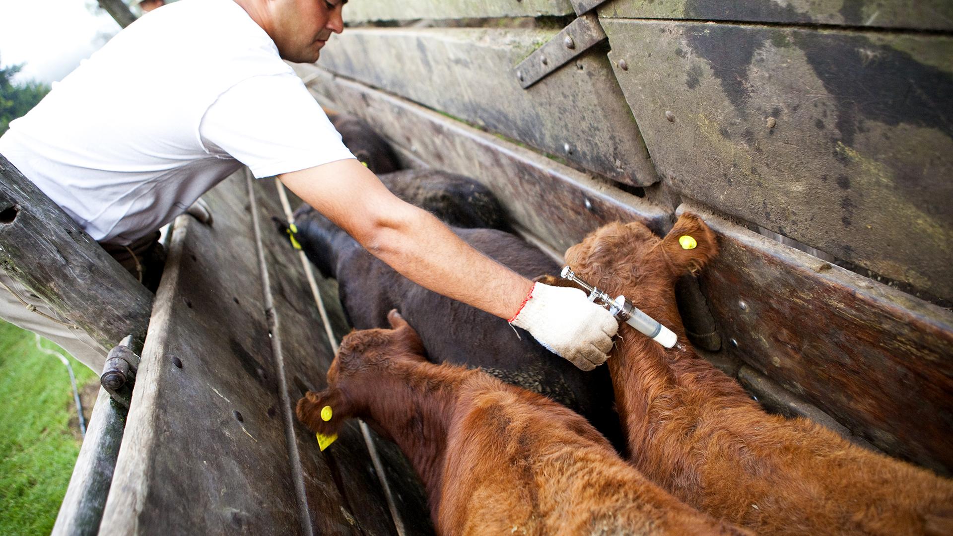 25 de Mayo, Provincia de Buenos Aires. Vacunación antiaftosa.
