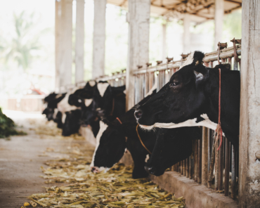 heads of black and white holstein cows feeding on grass in stable in holland